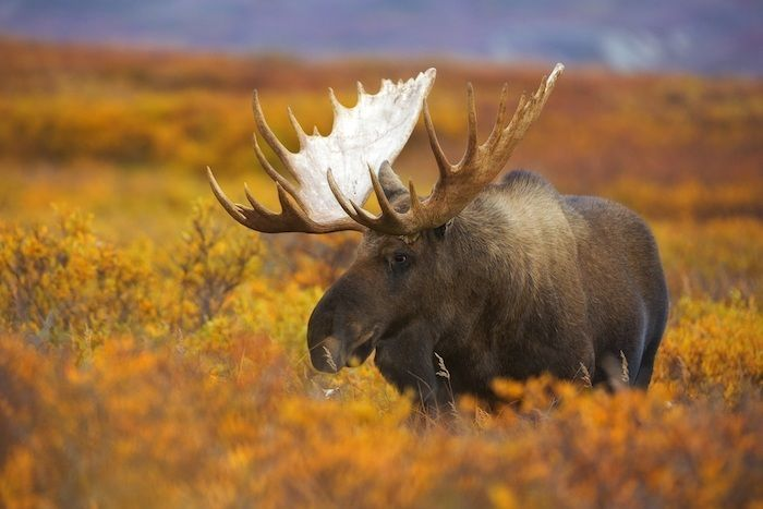 A bull moose wanders across the fall colored tundra of Denali National Park and Preserve, Alaska. By Chase Dekker | Shutterstock.com
