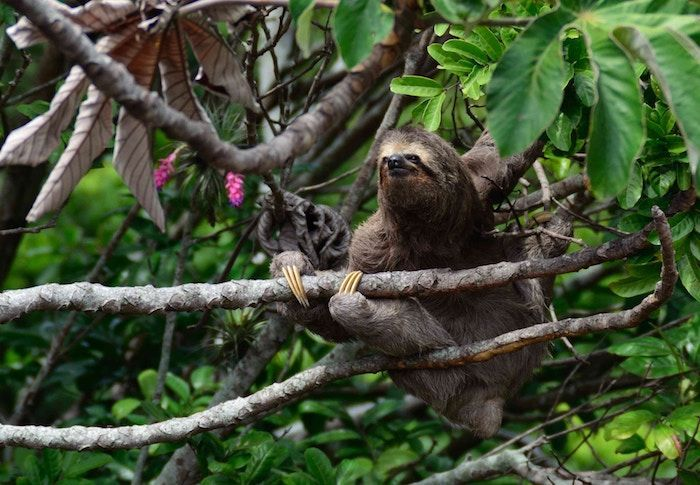 Sloths can sleep up to 20 hours a day, but this can vary if the environmental circumstances change. By Kleber Varejão Filho