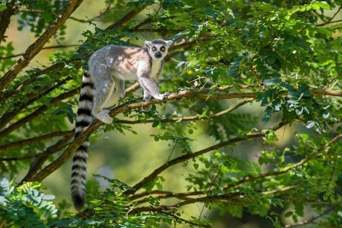 The ring-tailedlemur (Lemur catta) can sleep up to 16 hours a day. By David Havel | Shutterstock.com