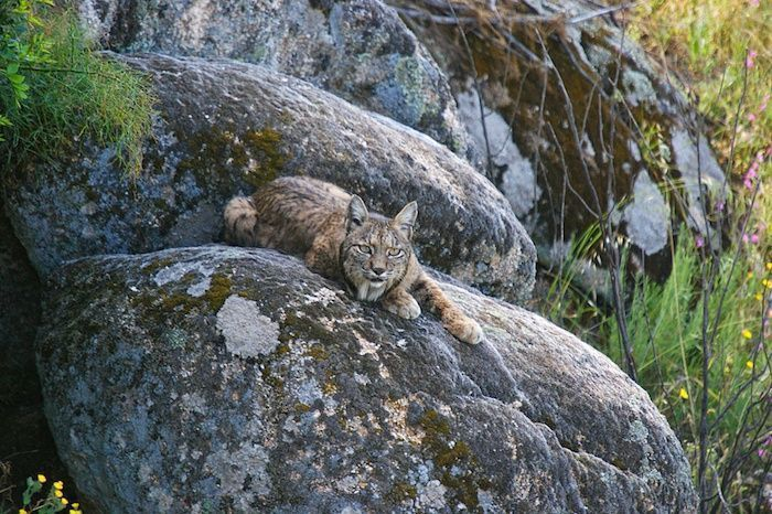 The Iberian lynx is an example of metapopulation in the Iberian Peninsula. By Juan Aceituno | Shutterstock.com