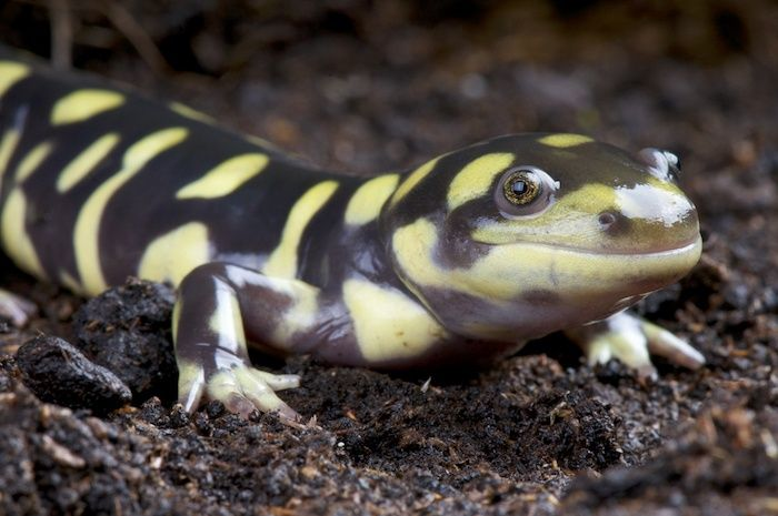 Tiger salamander (Ambystoma tigrinum). By reptiles4all | Shutterstock.com