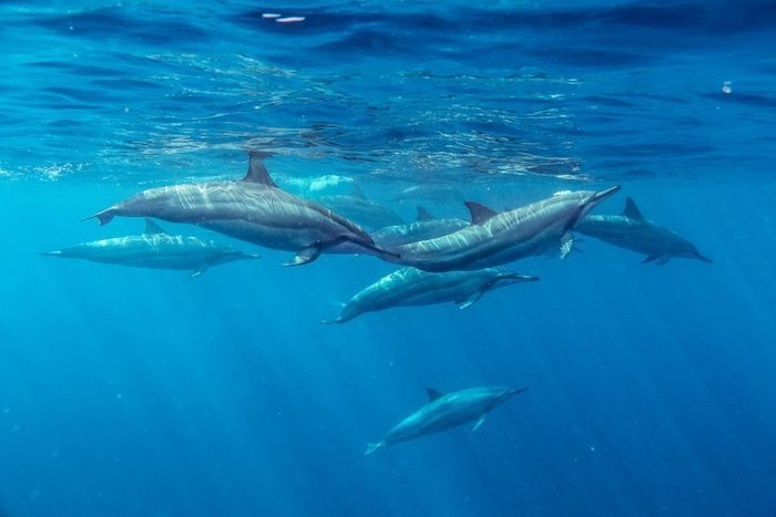 During sleep, dolphins reduce the activity of one brain hemisphere, while the other remains active. By Christopher Berthelot | Shutterstock.com