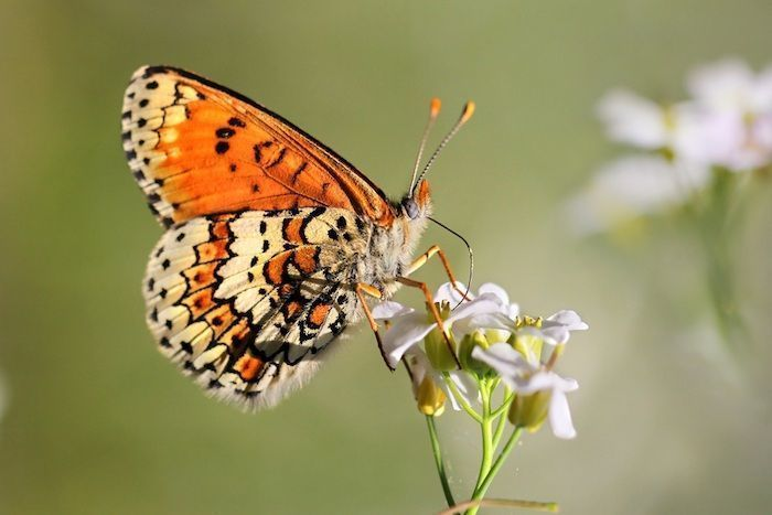 Ilkka Hanski conducted his studies with an endangered butterfly species (Melitaea cinxia). By Marek Mierzejewski | Shutterstock.com