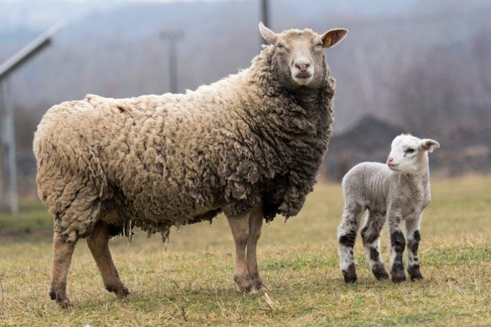 Sheeps. By Monika23 | Shutterstock.com