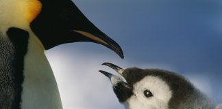 Close-up of an emperor penguin infant and mother, Antarctic. By BMJ | Shutterstock.com