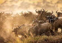 Big herd of wildebeest is about Mara River. By Gudkov Andrey | Shutterstock.com