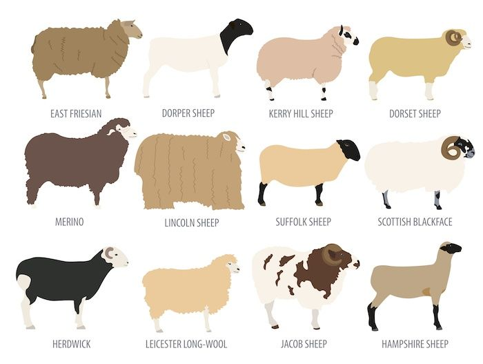 Sheep breed. By A7880S | Shutterstock.com