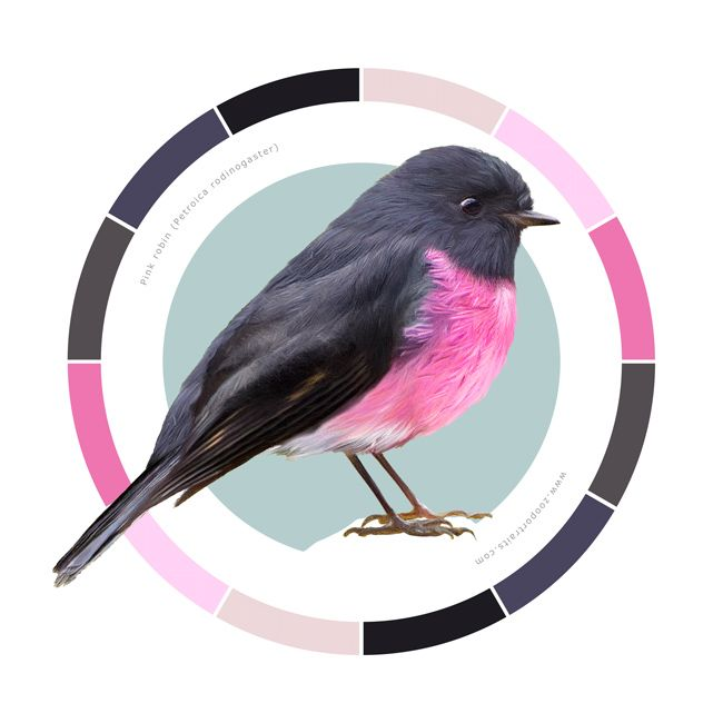 Pink robin - Petroica rodinogaster