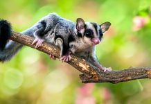 An adorable sugar glider (Petaurus breviceps) climb on the tree. By Arif Supriyadi | Shutterstock.com