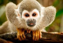 Squirrel monkey in Ecuadorian jungle. By Ludmila Ruzickova | Shutterstock.com
