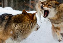 Two wolves fighting on snow. By David Dirga | Shutterstock.com