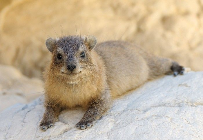 Yellow-spotted Rock Hyrax in the Ein Gedi Nature Reserve. By vblinov | Shutterstock.com