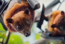 Fruit bats. By Jeffrey Paul Wade / Shutterstock.com